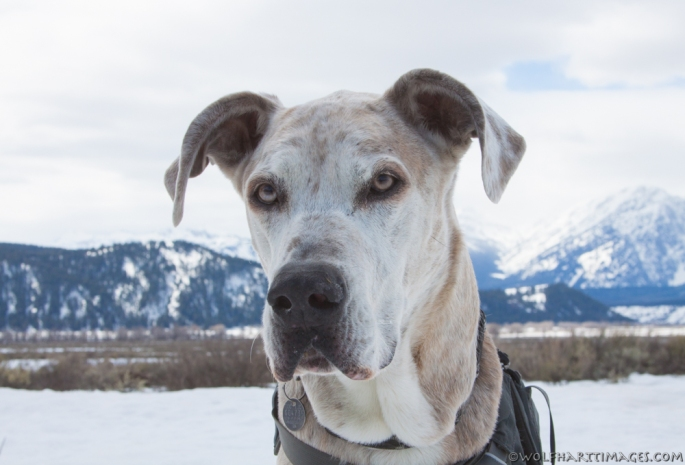 Great Dane Portrait taken with the Tetons