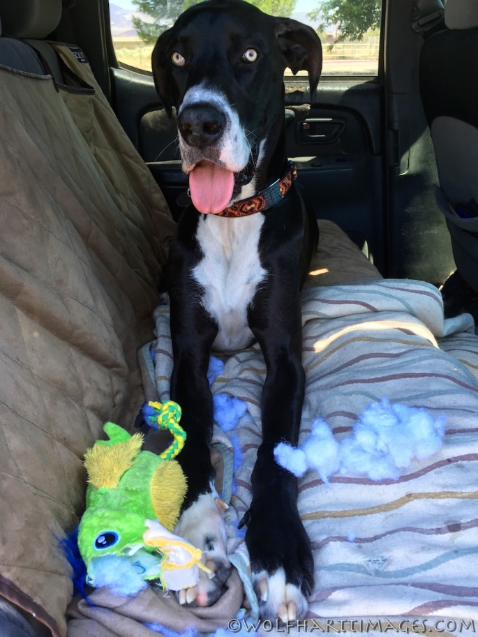 great dane, mantle dane, pet travel